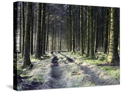 Forestry Commission Plantation, Sousons, Dartmoor, Devon, England, United Kingdom, Europe-David Lomax-Stretched Canvas Print