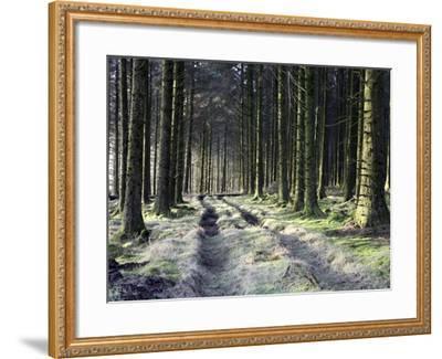 Forestry Commission Plantation, Sousons, Dartmoor, Devon, England, United Kingdom, Europe-David Lomax-Framed Photographic Print