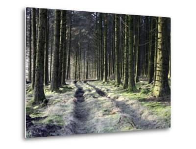 Forestry Commission Plantation, Sousons, Dartmoor, Devon, England, United Kingdom, Europe-David Lomax-Metal Print