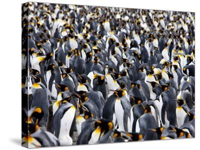 King Penguin Colony (Aptenodytes Patagonicus), Gold Harbour, South Georgia, Antarctic-Thorsten Milse-Stretched Canvas Print