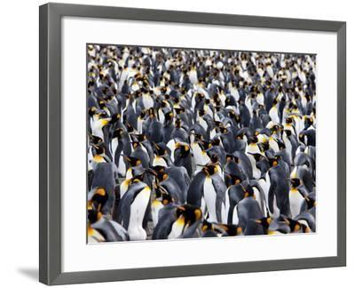 King Penguin Colony (Aptenodytes Patagonicus), Gold Harbour, South Georgia, Antarctic-Thorsten Milse-Framed Photographic Print