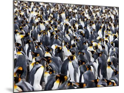King Penguin Colony (Aptenodytes Patagonicus), Gold Harbour, South Georgia, Antarctic-Thorsten Milse-Mounted Photographic Print