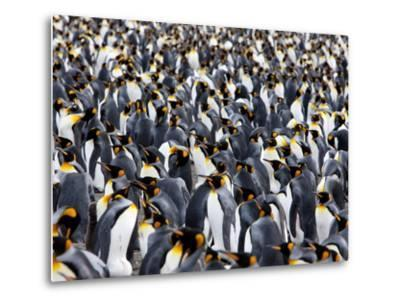 King Penguin Colony (Aptenodytes Patagonicus), Gold Harbour, South Georgia, Antarctic-Thorsten Milse-Metal Print