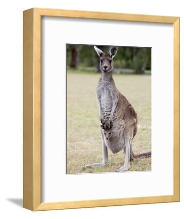 Western Gray Kangaroo (Macropus Fuliginosus) With Joey in Pouch, Yanchep National Park, Australia--Framed Photographic Print