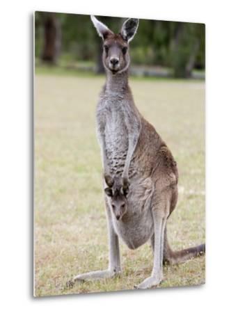 Western Gray Kangaroo (Macropus Fuliginosus) With Joey in Pouch, Yanchep National Park, Australia--Metal Print