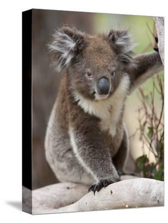 Koala (Phascolarctos Cinereus) in a Eucalyptus Tree, Yanchep National Park, West Australia--Stretched Canvas Print