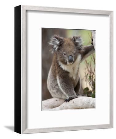 Koala (Phascolarctos Cinereus) in a Eucalyptus Tree, Yanchep National Park, West Australia--Framed Photographic Print