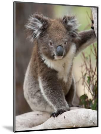 Koala (Phascolarctos Cinereus) in a Eucalyptus Tree, Yanchep National Park, West Australia--Mounted Photographic Print