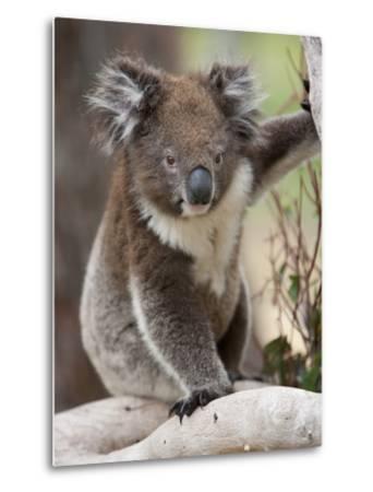 Koala (Phascolarctos Cinereus) in a Eucalyptus Tree, Yanchep National Park, West Australia--Metal Print