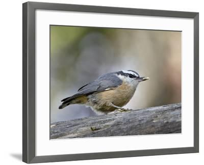 Female Red-Breasted Nuthatch (Sitta Canadensis), Wasilla, Alaska, USA--Framed Photographic Print