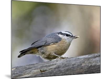 Female Red-Breasted Nuthatch (Sitta Canadensis), Wasilla, Alaska, USA--Mounted Photographic Print