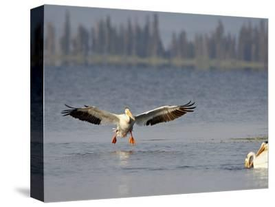 American White Pelican (Pelecanus Erythrorhynchos) Fishing, Yellowstone National Park--Stretched Canvas Print