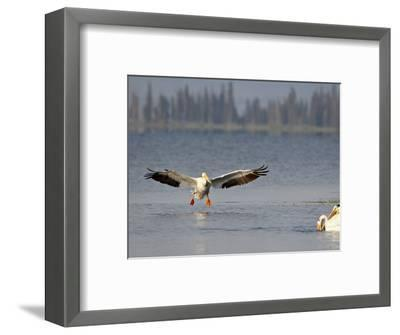 American White Pelican (Pelecanus Erythrorhynchos) Fishing, Yellowstone National Park--Framed Photographic Print