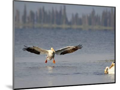 American White Pelican (Pelecanus Erythrorhynchos) Fishing, Yellowstone National Park--Mounted Photographic Print