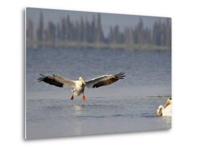 American White Pelican (Pelecanus Erythrorhynchos) Fishing, Yellowstone National Park--Metal Print