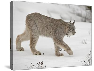 Canadian Lynx (Lynx Canadensis) in Snow in Captivity, Near Bozeman, Montana--Stretched Canvas Print