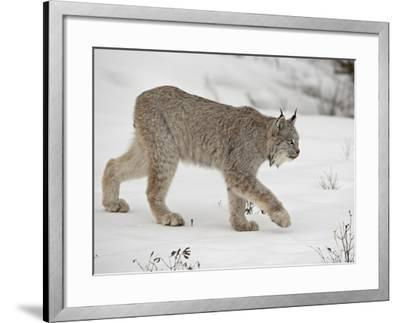 Canadian Lynx (Lynx Canadensis) in Snow in Captivity, Near Bozeman, Montana--Framed Photographic Print
