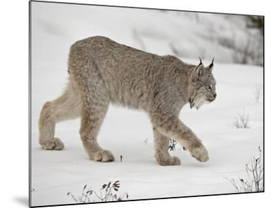 Canadian Lynx (Lynx Canadensis) in Snow in Captivity, Near Bozeman, Montana--Mounted Photographic Print