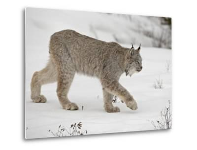 Canadian Lynx (Lynx Canadensis) in Snow in Captivity, Near Bozeman, Montana--Metal Print