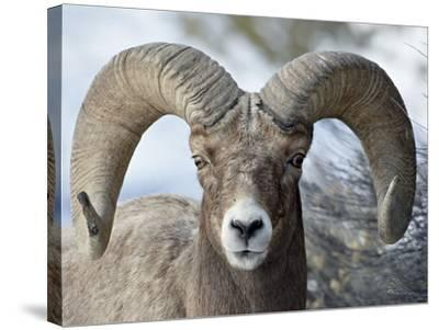 Bighorn Sheep (Ovis Canadensis) Ram, Yellowstone National Park, Wyoming,--Stretched Canvas Print