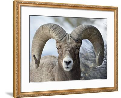 Bighorn Sheep (Ovis Canadensis) Ram, Yellowstone National Park, Wyoming,--Framed Photographic Print