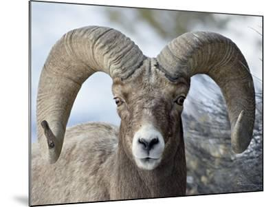 Bighorn Sheep (Ovis Canadensis) Ram, Yellowstone National Park, Wyoming,--Mounted Photographic Print
