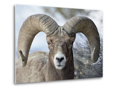 Bighorn Sheep (Ovis Canadensis) Ram, Yellowstone National Park, Wyoming,--Metal Print