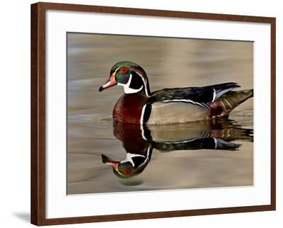 Wood Duck (Aix Sponsa) Drake Swimming, Sterne Park, Littleton, Colorado--Framed Photographic Print