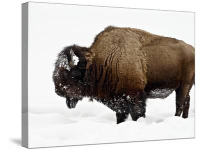 Bison in Snow, Yellowstone National Park, Wyoming--Stretched Canvas Print
