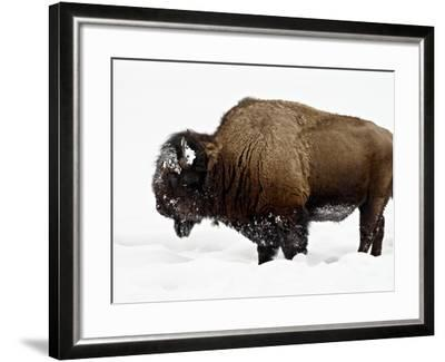 Bison in Snow, Yellowstone National Park, Wyoming--Framed Photographic Print