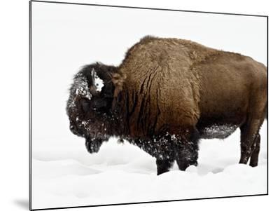 Bison in Snow, Yellowstone National Park, Wyoming--Mounted Photographic Print