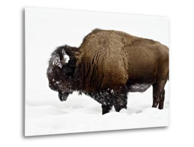 Bison in Snow, Yellowstone National Park, Wyoming--Metal Print