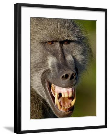 Chacma Baboon (Papio Ursinus) Baring Teeth to Show Aggression, Kruger National Park, South Africa--Framed Photographic Print
