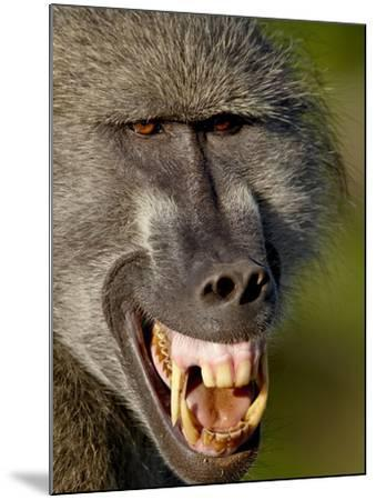 Chacma Baboon (Papio Ursinus) Baring Teeth to Show Aggression, Kruger National Park, South Africa--Mounted Photographic Print