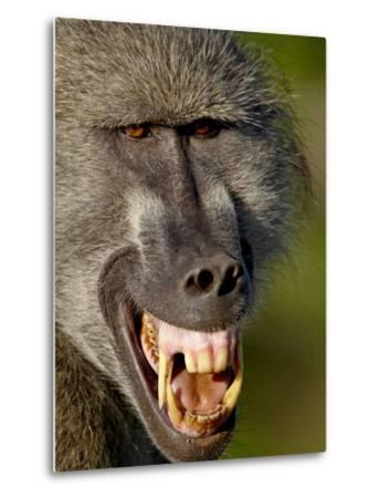 Chacma Baboon (Papio Ursinus) Baring Teeth to Show Aggression, Kruger National Park, South Africa--Metal Print