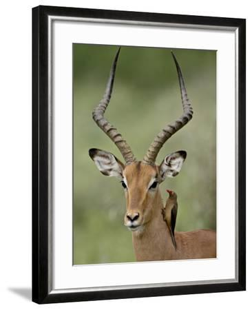 Male Impala (Aepyceros Melampus) With a Red-Billed Oxpecker, Kruger National Park, South Africa--Framed Photographic Print