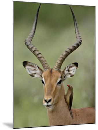 Male Impala (Aepyceros Melampus) With a Red-Billed Oxpecker, Kruger National Park, South Africa--Mounted Photographic Print