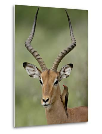 Male Impala (Aepyceros Melampus) With a Red-Billed Oxpecker, Kruger National Park, South Africa--Metal Print