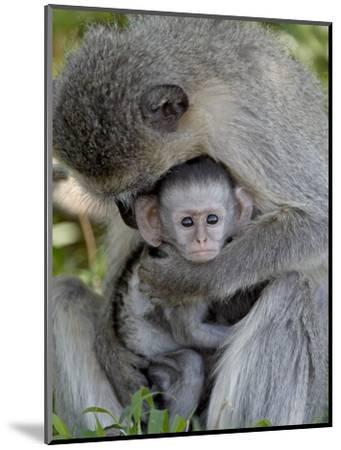 Infant Vervet Monkey (Chlorocebus Aethiops), Kruger National Park, South Africa, Africa--Mounted Photographic Print