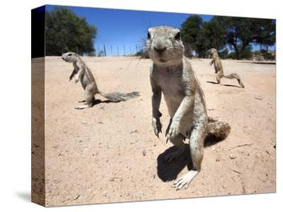 Ground Squirrels (Xerus Inauris), Kgalagadi Transfrontier Park, Northern Cape, South Africa, Africa--Stretched Canvas Print