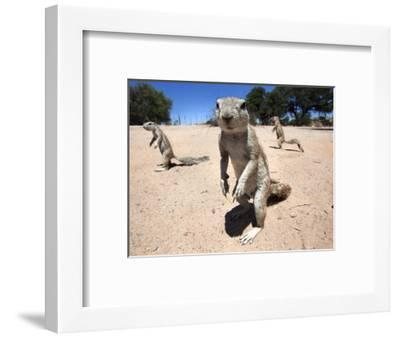 Ground Squirrels (Xerus Inauris), Kgalagadi Transfrontier Park, Northern Cape, South Africa, Africa--Framed Photographic Print