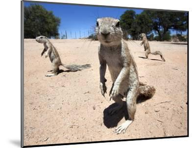 Ground Squirrels (Xerus Inauris), Kgalagadi Transfrontier Park, Northern Cape, South Africa, Africa--Mounted Photographic Print