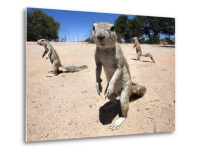 Ground Squirrels (Xerus Inauris), Kgalagadi Transfrontier Park, Northern Cape, South Africa, Africa--Metal Print