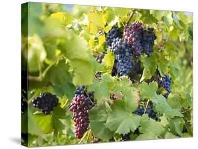 Grapes on Vines, Languedoc Roussillon, France, Europe--Stretched Canvas Print
