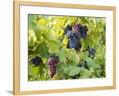 Grapes on Vines, Languedoc Roussillon, France, Europe--Framed Photographic Print
