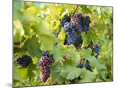 Grapes on Vines, Languedoc Roussillon, France, Europe--Mounted Photographic Print