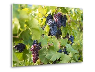 Grapes on Vines, Languedoc Roussillon, France, Europe--Metal Print