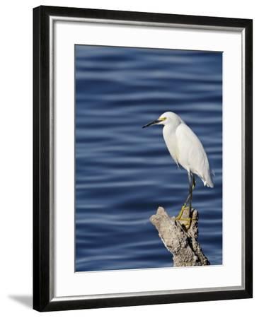 Snowy Egret (Egretta Thula), Sonny Bono Salton Sea National Wildlife Refuge, California, USA--Framed Photographic Print