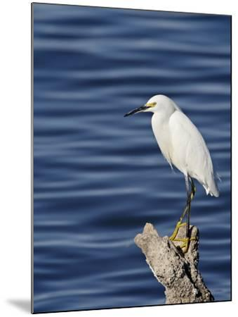 Snowy Egret (Egretta Thula), Sonny Bono Salton Sea National Wildlife Refuge, California, USA--Mounted Photographic Print