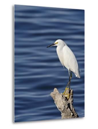 Snowy Egret (Egretta Thula), Sonny Bono Salton Sea National Wildlife Refuge, California, USA--Metal Print